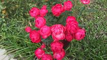 """""""Lạc trôi"""" giữa công viên hoa hồng khổng lồ giữa lòng Hà Nội"""
