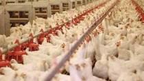 Trung Quốc phê duyệt nhập khẩu gia cầm sống từ Mỹ
