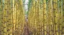 Các nhà máy đường của Brazil nhanh chóng bắt đầu vụ mới