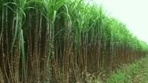 VCSC: Trong dài hạn, M&A ngành mía đường là tất yếu