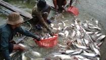 Nửa đầu tháng 7, giá cá tra nguyên liệu xuất khẩu liên tục giảm, nông dân điêu đứng