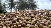 Trái dừa, cau Việt lại lao đao vì tư thương Trung Quốc