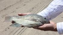 Cá rô phi Việt Nam xuất vào Úc bị phát hiện có chất cấm