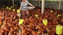 Chăn nuôi nhỏ lẻ không cạnh tranh nổi khi Việt Nam vào TPP