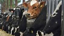 Giá bán gia súc sống của Australia giảm mạnh tại Việt Nam
