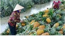 ĐBSCL: Giá dứa tăng cao, nông dân thu lãi lớn