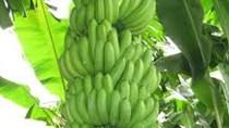 Big C đưa chuối Đồng Nai ra miền Trung tiêu thụ