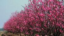 Sôi động thị trường hoa cây cảnh sẵn sàng phục vụ Tết Nguyên đán