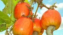 Nhập khẩu hạt điều chủ yếu từ các nước Đông Nam Á