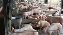 Đã 'giải cứu' được hơn một nửa số lợn cần bán