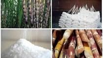 Nhiều giải pháp nâng cao hiệu quả ngành mía đường