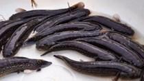 TT Nam Định: Giá cá bống bớp giảm, thủy sản xuất sang Trung Quốc gặp khó
