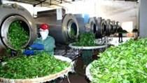 Xuất khẩu chè sang thị trường Thổ Nhĩ Kỳ tăng mạnh cả lượng và trị giá