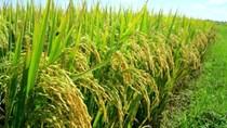 Giá lúa tăng trở lại ở các vùng ĐBSCL