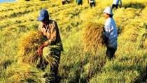 Giá lúa Đông Xuân tăng, nhưng vẫn thấp hơn so với vụ mùa năm trước