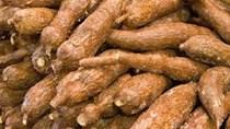 Xuất khẩu sắn và sản phẩm từ sắn tăng cả lượng và kim ngạch