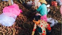 Giải cứu khoai lang bị thương lái Trung Quốc ép giá 100 đồng/kg