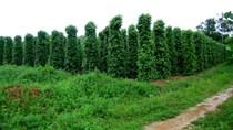 Phú Quốc: Từ nay đến cuối năm trồng mới 40ha vườn tiêu
