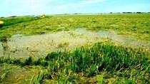 Hàng nghìn héc ta lúa Hè Thu bị ngập úng, đổ ngã do mưa lớn