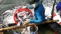TT thủy sản 24/6:Thị trường tiêu thụ cá tra chưa có dấu hiệu phục hồi