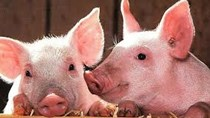 Giá lợn hơi ngày 15/7/2020 tăng nhẹ, phát hiện thêm ổ dịch mới