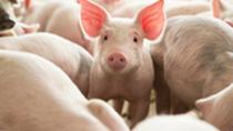 Giá lợn hơi hôm nay 17/7: Miền Trung và Tây Nguyên có sự điều chỉnh trái chiều
