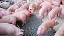 Giá lợn hơi ngày 12/8/2020: Tiếp tục giảm khoảng 1.000 - 5.000 đồng/kg