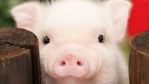 Giá lợn hơi ngày 20/8/2020 tiếp tục điều chỉnh ở mức 1.000-3000 đồng/kg