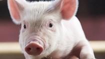 Giá lợn hơi ngày 22/8/2020, Bắc-Nam giảm nhẹ, miền Trung giá đi ngang