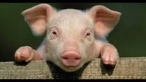 Giá lợn hơi ngày 7/9/2020: Tiếp tục giảm, thấp nhất 74.000 đồng/kg