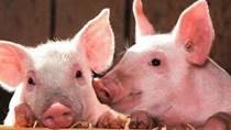Giá lợn hơi ngày 22/9/2020: Miền Nam điều chỉnh giảm ở một số địa phương.