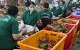 Xuất khẩu rau quả bứt phá nhờ EVFTA