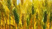 Thị trường TĂCN thế giới 1/12/2020: Giá lúa mì tăng cao sau nhiều phiên giảm sâu