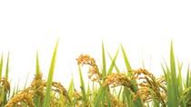 Thái Lan tăng sản lượng gạo