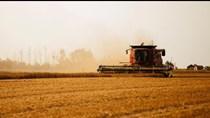 IGC nâng dự báo sản lượng lúa mì toàn cầu niên vụ 2020/21