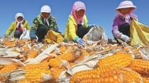 Các khu vực gieo trồng ngô và đậu tương ở Brazil tiếp tục có mưa