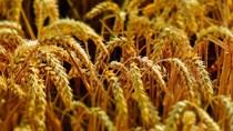 Xuất khẩu lúa mì mềm của EU niên vụ 2020/21 đạt 17,56 triệu tấn