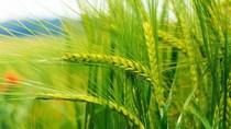 TT ngũ cốc thế giới ngày 10/03/2021: Giá lúa mì giảm sau khi phục hồi