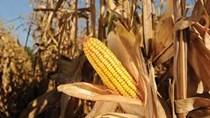 Brazil đã thu hoạch 78% diện tích trồng đậu tương