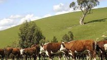 Giá thịt bò thế giới bắp kịp giá thịt bò Australia
