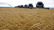 Thuế xuất khẩu lúa mì của Nga sẽ giảm mạnh vào đầu tháng 6/2021