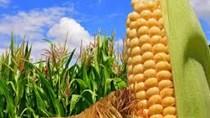 Sản lượng ngô của Argentina cao kỷ lục nhưng diện tích trồng đậu tương giảm