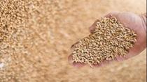 Pháp cắt giảm dự báo sản lượng lúa mì năm 2021 do thời tiết không thuận lợi