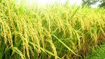Giá sản xuất lúa vụ hè thu 2015 trên 4.000 đồng/kg