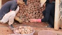 Khoai tây mầm độc hại tràn lan ở chợ nông sản Đà Lạt