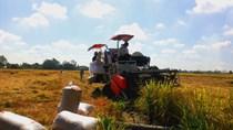 Giá lúa gạo ngày 16/9: Giá gạo giảm tiếp 100 đồng/kg