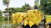 Gạo Việt xuất khẩu mạnh nhờ chất lượng tăng