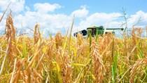 Thị trường lúa gạo ngày 5/11: Giá lúa gạo ổn định