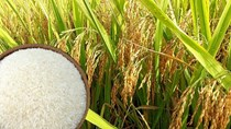 Thị trường lúa gạo ngày 30/11: Giá gạo nguyên liệu và xuất khẩu tăng nhẹ