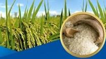 Thị trường lúa gạo ngày 11/3: Giá lúa giảm